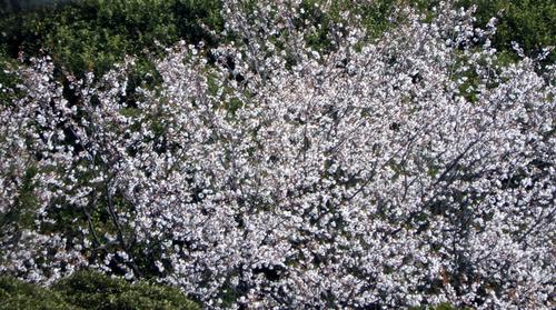 高麗山の桜.jpg